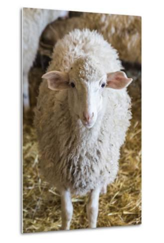 Italy, Sardinia, Gavoi. Sheep Inside a Hay Filled Barn-Alida Latham-Metal Print