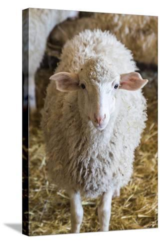 Italy, Sardinia, Gavoi. Sheep Inside a Hay Filled Barn-Alida Latham-Stretched Canvas Print