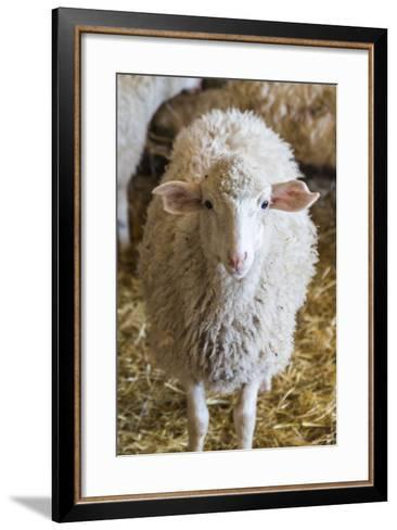 Italy, Sardinia, Gavoi. Sheep Inside a Hay Filled Barn-Alida Latham-Framed Art Print