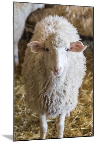 Italy, Sardinia, Gavoi. Sheep Inside a Hay Filled Barn-Alida Latham-Mounted Photographic Print