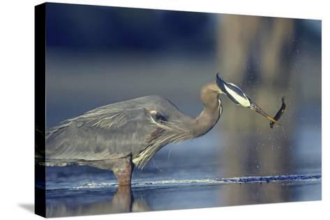 Great Blue Heron with Eel, British Columbia Canada-Tim Fitzharris-Stretched Canvas Print