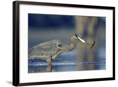 Great Blue Heron with Eel, British Columbia Canada-Tim Fitzharris-Framed Art Print