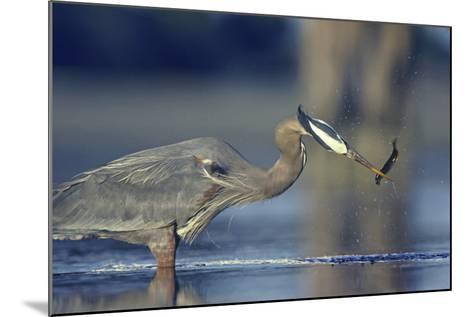 Great Blue Heron with Eel, British Columbia Canada-Tim Fitzharris-Mounted Photographic Print