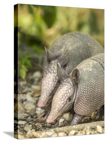 Louisiana, Lake Martin. Two Nine-Banded Armadillo Young-Jaynes Gallery-Stretched Canvas Print