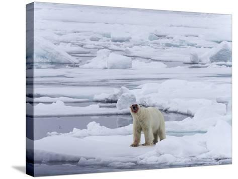 Arctic Ocean, Norway, Svalbard. Polar Bear after Eating-Jaynes Gallery-Stretched Canvas Print