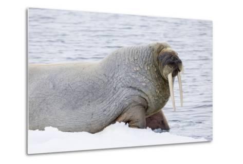 Norway, Svalbard, Pack Ice, Walrus on Ice Floes-Ellen Goff-Metal Print