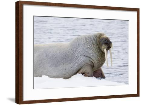 Norway, Svalbard, Pack Ice, Walrus on Ice Floes-Ellen Goff-Framed Art Print