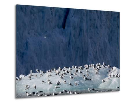 Arctic Ocean, Norway, Svalbard. Kittiwake Birds on Iceberg-Jaynes Gallery-Metal Print
