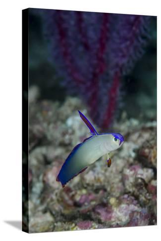 Indonesia, Alor Island, Bacatan Wall. Close-Up of Goby Fish-Jaynes Gallery-Stretched Canvas Print
