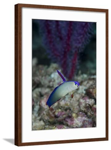 Indonesia, Alor Island, Bacatan Wall. Close-Up of Goby Fish-Jaynes Gallery-Framed Art Print