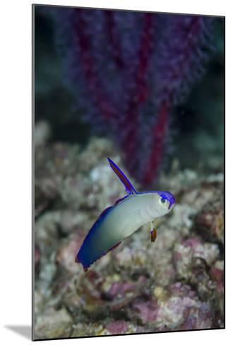 Indonesia, Alor Island, Bacatan Wall. Close-Up of Goby Fish-Jaynes Gallery-Mounted Photographic Print