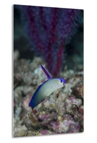 Indonesia, Alor Island, Bacatan Wall. Close-Up of Goby Fish-Jaynes Gallery-Metal Print