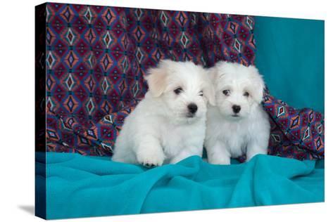 Coton De Tulear Puppies Posing-Zandria Muench Beraldo-Stretched Canvas Print