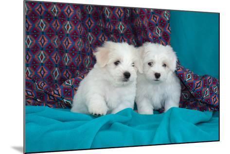 Coton De Tulear Puppies Posing-Zandria Muench Beraldo-Mounted Photographic Print