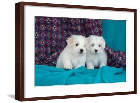 Coton De Tulear Puppies Posing-Zandria Muench Beraldo-Framed Art Print