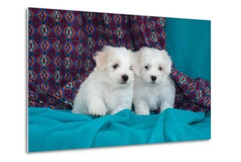 Coton De Tulear Puppies Posing-Zandria Muench Beraldo-Metal Print