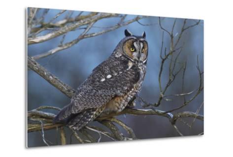 Long-Eared Owl at Dusk-Ken Archer-Metal Print
