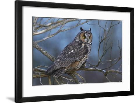 Long-Eared Owl at Dusk-Ken Archer-Framed Art Print