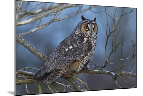 Long-Eared Owl at Dusk-Ken Archer-Mounted Photographic Print