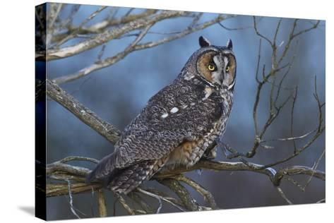 Long-Eared Owl at Dusk-Ken Archer-Stretched Canvas Print