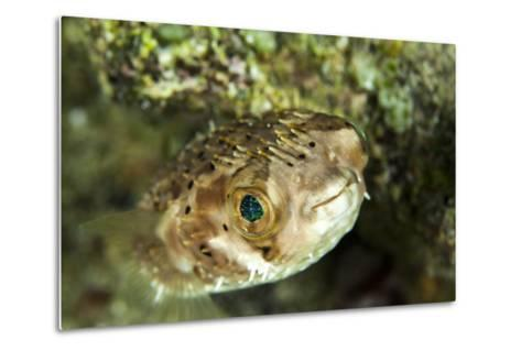 Puffer Fish with Green Eyes in the Clear Waters Off Staniel Cay, Exuma, Bahamas-James White-Metal Print