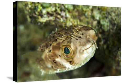 Puffer Fish with Green Eyes in the Clear Waters Off Staniel Cay, Exuma, Bahamas-James White-Stretched Canvas Print