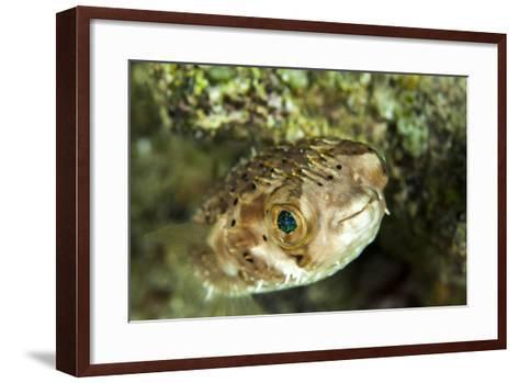 Puffer Fish with Green Eyes in the Clear Waters Off Staniel Cay, Exuma, Bahamas-James White-Framed Art Print
