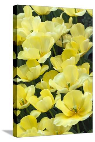Yellow Tulips-Anna Miller-Stretched Canvas Print
