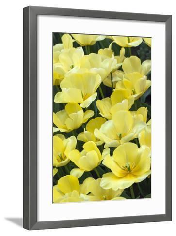 Yellow Tulips-Anna Miller-Framed Art Print
