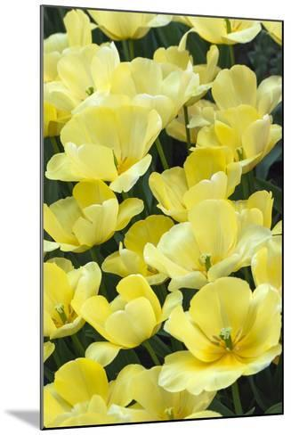 Yellow Tulips-Anna Miller-Mounted Photographic Print