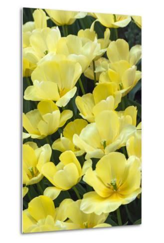 Yellow Tulips-Anna Miller-Metal Print