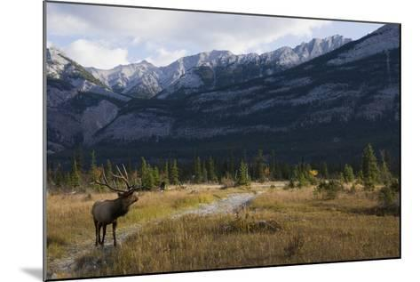 Rocky Mountain Bull Elk, Canadian Rockies-Ken Archer-Mounted Photographic Print