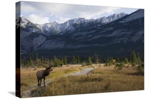 Rocky Mountain Bull Elk, Canadian Rockies-Ken Archer-Stretched Canvas Print