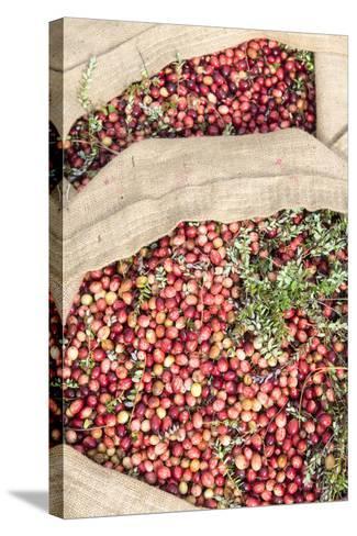 Massachusetts, Wareham, Cranberries-Jim Engelbrecht-Stretched Canvas Print