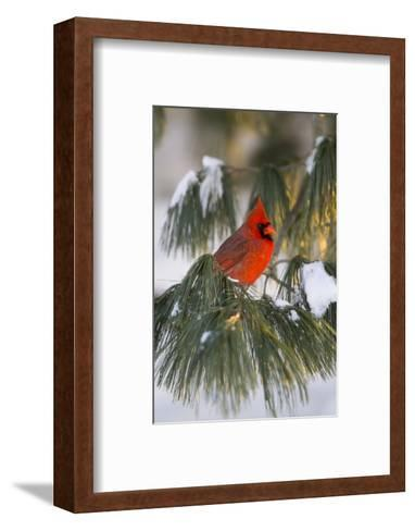 Northern Cardinal Male in White Pine Tree in Winter, Marion County, Illinois-Richard and Susan Day-Framed Art Print