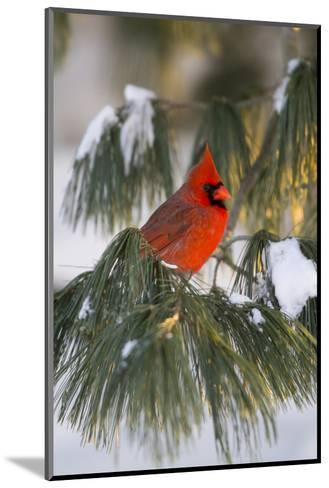 Northern Cardinal Male in White Pine Tree in Winter, Marion County, Illinois-Richard and Susan Day-Mounted Photographic Print