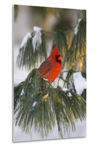 Northern Cardinal Male in White Pine Tree in Winter, Marion County, Illinois-Richard and Susan Day-Metal Print