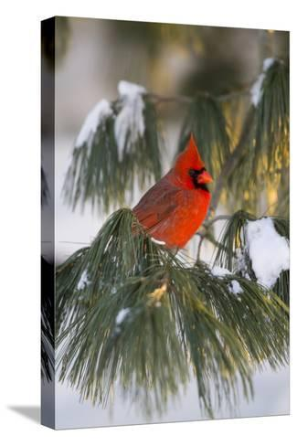 Northern Cardinal Male in White Pine Tree in Winter, Marion County, Illinois-Richard and Susan Day-Stretched Canvas Print