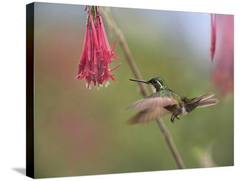 Male Gray-Tailed Mountain-Gem Hummingbird Hovering at a Flower-Tim Fitzharris-Stretched Canvas Print