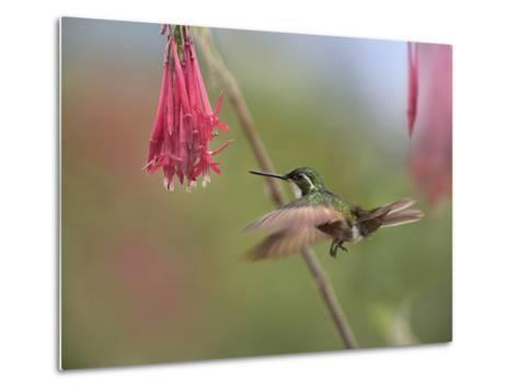 Male Gray-Tailed Mountain-Gem Hummingbird Hovering at a Flower-Tim Fitzharris-Metal Print