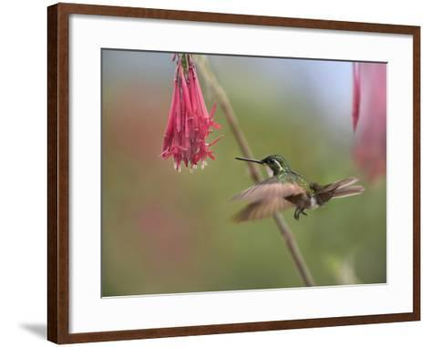 Male Gray-Tailed Mountain-Gem Hummingbird Hovering at a Flower-Tim Fitzharris-Framed Art Print