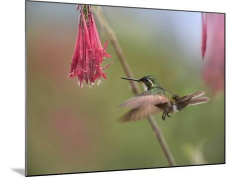 Male Gray-Tailed Mountain-Gem Hummingbird Hovering at a Flower-Tim Fitzharris-Mounted Photographic Print