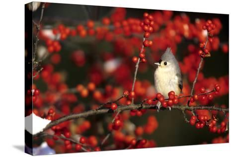 Tufted Titmouse in Common Winterberry in Winter, Marion County, Illinois-Richard and Susan Day-Stretched Canvas Print