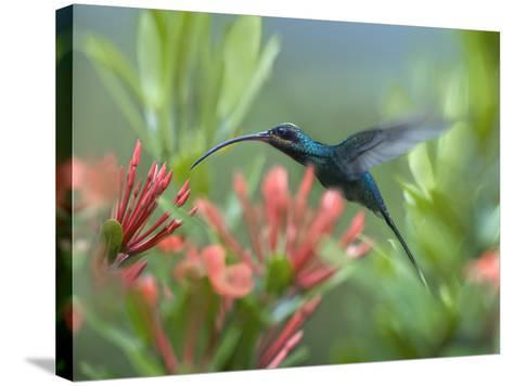 Green Hermit Hummingbird Male Feeding at a Flower-Tim Fitzharris-Stretched Canvas Print
