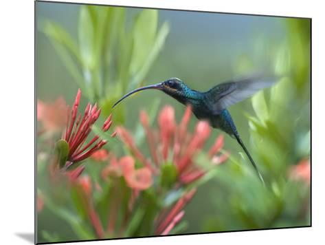 Green Hermit Hummingbird Male Feeding at a Flower-Tim Fitzharris-Mounted Photographic Print