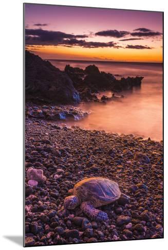 Hawaiian Green Sea Turtle on a Lava Beach at Sunset, Kohala Coast, the Big Island, Hawaii-Russ Bishop-Mounted Photographic Print