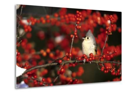 Tufted Titmouse in Common Winterberry in Winter, Marion County, Illinois-Richard and Susan Day-Metal Print