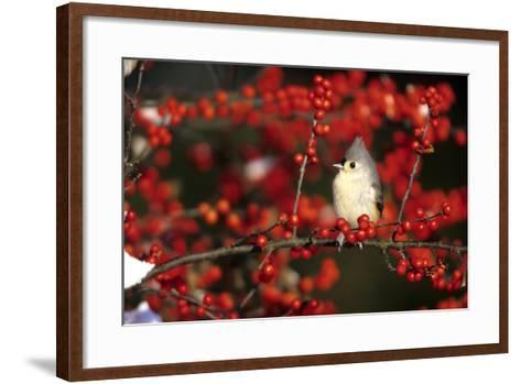 Tufted Titmouse in Common Winterberry in Winter, Marion County, Illinois-Richard and Susan Day-Framed Art Print