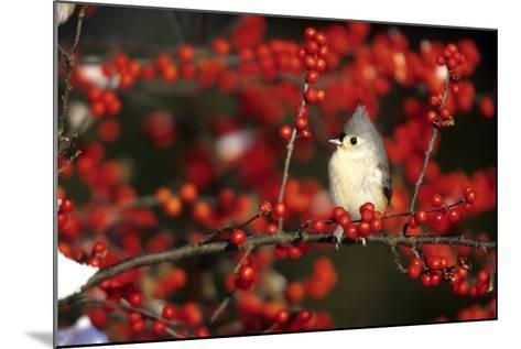 Tufted Titmouse in Common Winterberry in Winter, Marion County, Illinois-Richard and Susan Day-Mounted Photographic Print