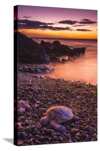 Hawaiian Green Sea Turtle on a Lava Beach at Sunset, Kohala Coast, the Big Island, Hawaii-Russ Bishop-Stretched Canvas Print